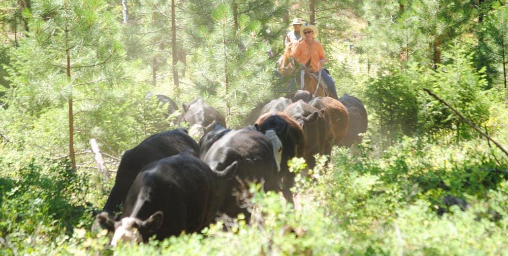 WARHorses_herdingcows_Montana 2016