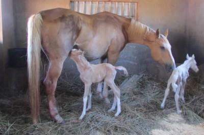 WARHorses_Twin Foals