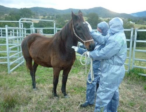 Deadly Hendra virus Confirmed (AUS)