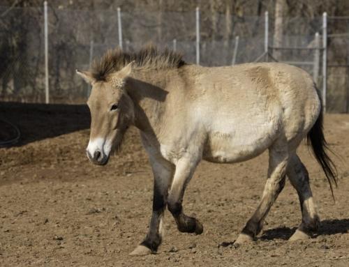 Przewalski Horse Euthanized at the National Zoo