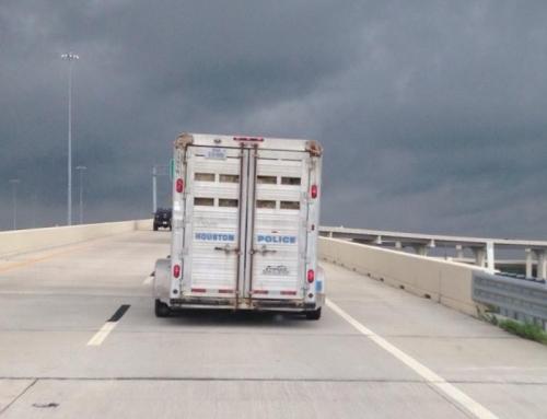 Hurricane Harvey Dumps On Houston's Horses