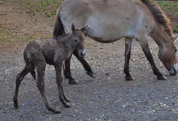 Przewalski horse WARHorses