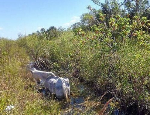 Senior Mare Dumped in the Everglades