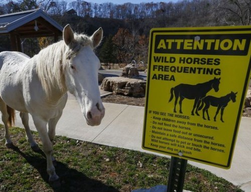Missouri's Wild Horses Have a People Problem