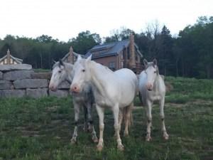 Echo Bluff Wild Horses