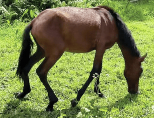 Hawaii's Wild Horses Are Dying