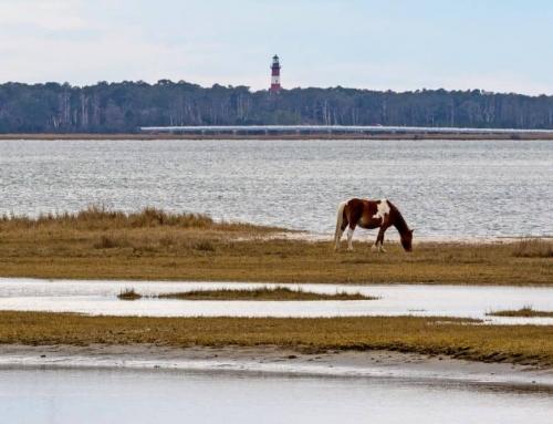 Swamp Cancer Dooms Seven Chincoteague Ponies