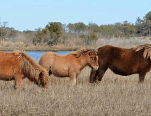 Assateague Island Horse Census Report