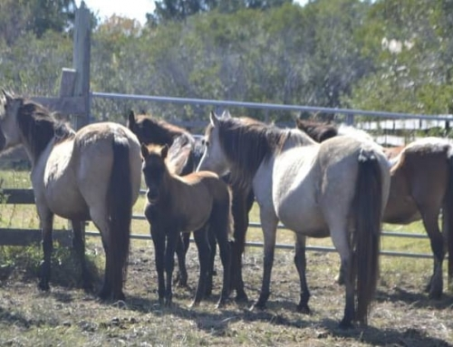 Ponies Corralled Because People Can't Follow Rules