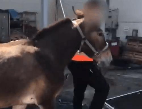 Mule Wanders into Airport Terminal