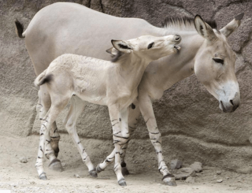 Endangered Ass Born at St. Louis Zoo