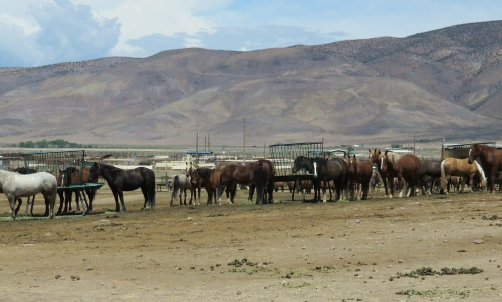 WARHorses Guide to Adopting a Wild Horse or Burro