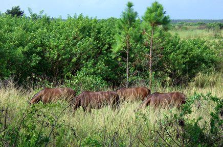 WARHorses' Interview – Milanne Rehor's Determination to Return the Extinct Abaco Island Horse