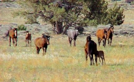 U.S. Forest Service Roundup Offers Uncertain Future for Older Wild Horses