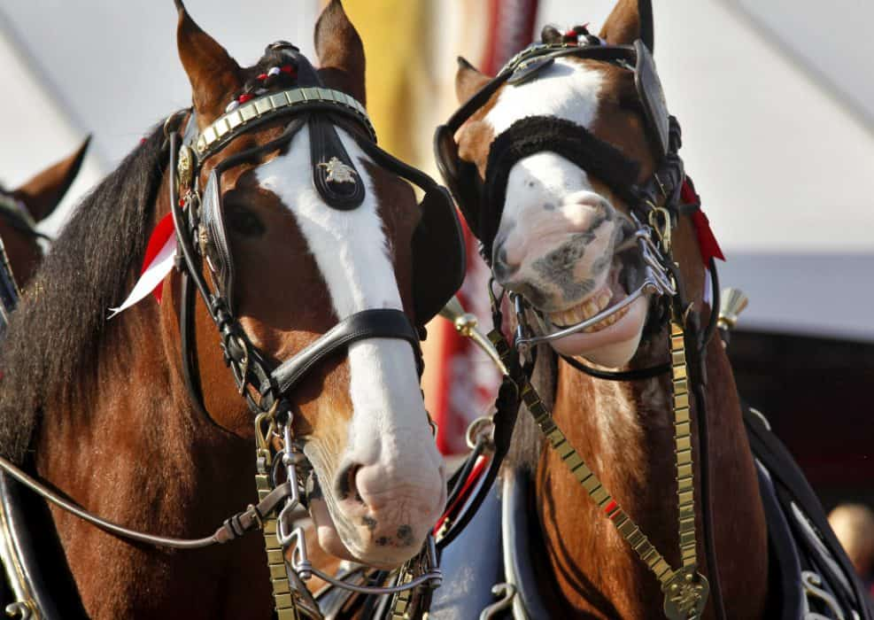 The Budweiser Clydesdales Return to the Super Bowl