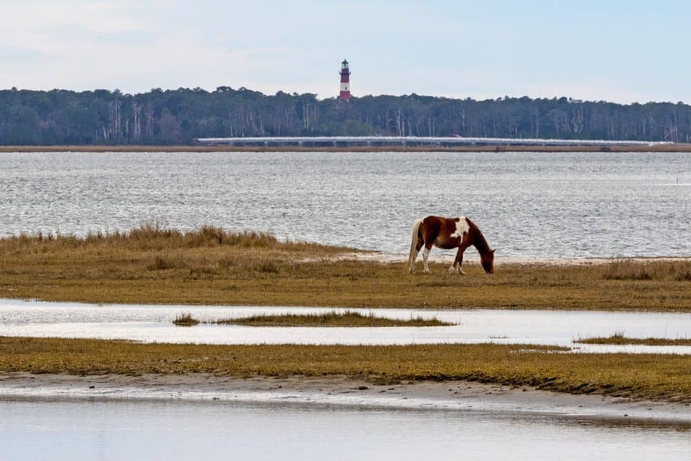 Swamp Cancer Dooms Seven Chincoteague Ponies