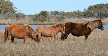 Assateague Island Horse Census Report