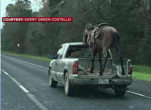 Horse Hauled in Pick Up Bed on Highway