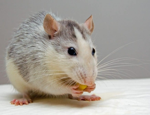 23 Reasons to Hate Rats