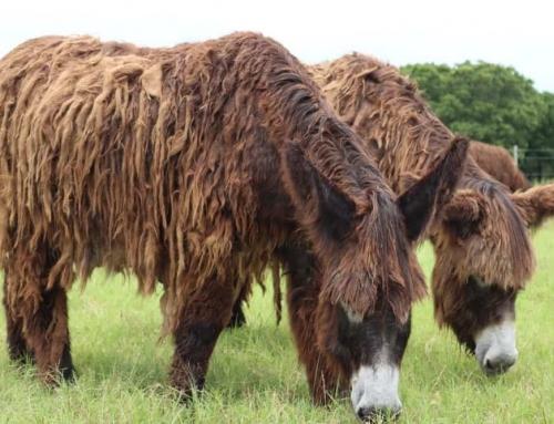 The Indelible Allure of Poitou Donkeys